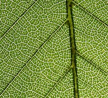 Green Leaf Close Up by pjwuebker