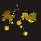 Sycamore by Barbara Wyeth