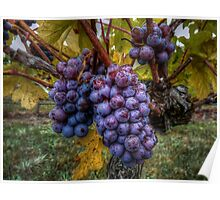 In Groups Of Three ~ Grapes ~ Poster