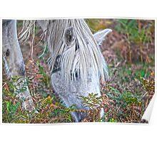 Wild White New Forest Pony Grazing on Bracken Poster