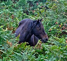 Wild Black New Forest Pony by Skye Ryan-Evans