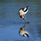 American Avocet Searching For Food by DARRIN ALDRIDGE