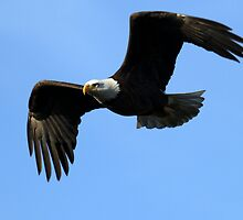 Bald Eagle The Symbol Of America by DARRIN ALDRIDGE