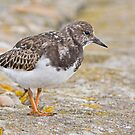 Turnstone by Alan Forder