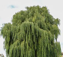 Weeping Willow by JanSmithPics