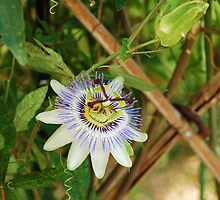 Bluecrown Passiflora by jojobob