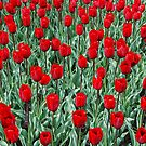 red tulips by Jo-PinX