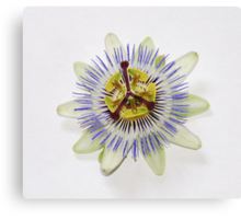 Isolated Bluecrown Passiflora Canvas Print