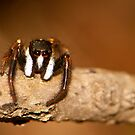 jump spider by davvi