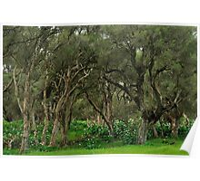 paperbark swamp with lily infestation Poster