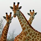 A Tall Trio !! by jozi1