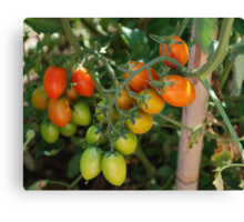 Date Tomatoes Ripening on Vine Canvas Print