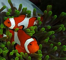 Clownfish in anemone by Davidpstephens