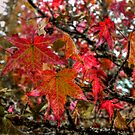 Tow By Two ~ Leaves Fall Colors ~ by Charles & Patricia   Harkins ~ Picture Oregon