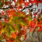It Is That Time ~ Leaves Fall Colors ~ by Charles & Patricia   Harkins ~ Picture Oregon