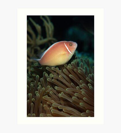 Pink skunk clownfish Art Print