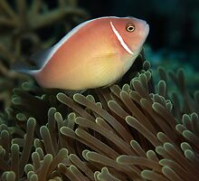 Pink skunk clownfish by Davidpstephens