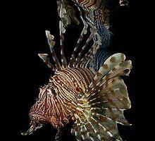 Lionfish Reflection by Davidpstephens