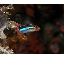 Blenny on reef Photographic Print