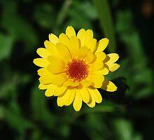 English Marigold by jojobob