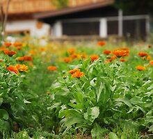 Orange Marigolds by jojobob