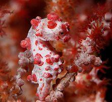 Pygmy Seahorse by Davidpstephens