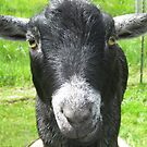 Mr. Z--the alpha goat! by Kathleen Hamilton