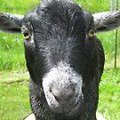 Mr. Z--the alpha goat! by Rainydayphotos