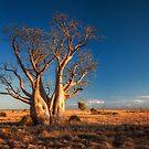 An Old Kimberley Boab by Mieke Boynton