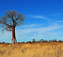 A Boabab and the delta bush! by jozi1