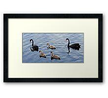 Family of Black Swans Framed Print