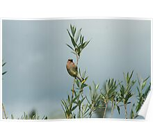 Cedar Waxwing on a Tree Poster