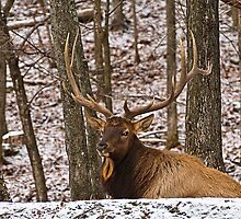 Bull Elk by Michael Cummings