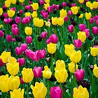 Tulips in Bloom by Photopa