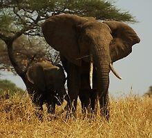 Mother and Child Elephants by Robin Hayward