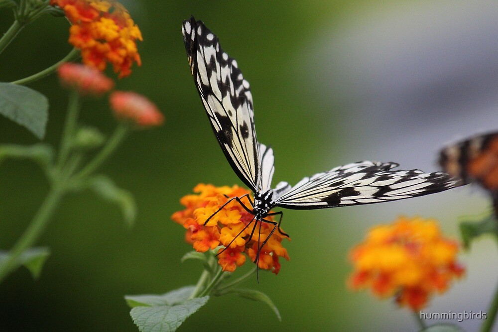 Rice Paper Butterfly by hummingbirds