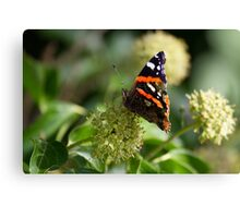 Red Admiral.. Canvas Print