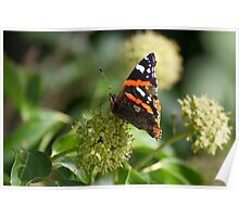 Red Admiral.. Poster
