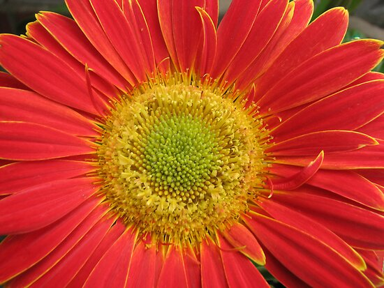 Glorious Gerbera by BlueMoonRose