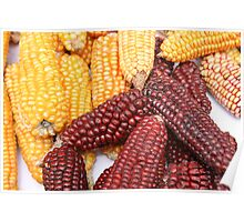 Multicolored Ears of Corn Poster