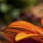 Orange Flower Petals by William Martin