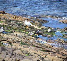 Kelp Goose Family Falkland Islands by Carole-Anne