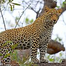 Trees are for leopards! by jozi1