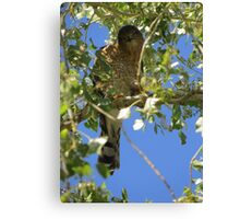 Coopers Hawk ~ Camera Ham Canvas Print