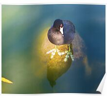 American Coot San Francisco Poster