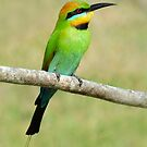 Rainbow Bee-eater taken at Urunga NSW by Alwyn Simple