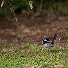 Superb Fairy Wren by AndyG