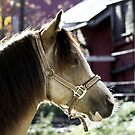 11.10.2013: Welsh Pony II by Petri Volanen