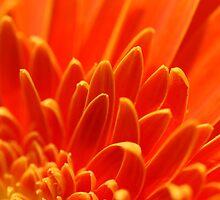 Phoenix Feathers by Aileen David