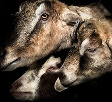 A clutch of Goats. by maxblack